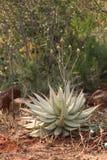 Floración del desierto Imagen de archivo libre de regalías