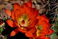Floración del desierto en rojo imagen de archivo