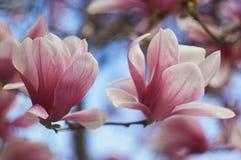 Floración del flor de la magnolia Imagen de archivo libre de regalías