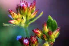 Floración del florete del eupatorium Imagen de archivo libre de regalías