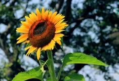 Floración del girasol Fotografía de archivo libre de regalías
