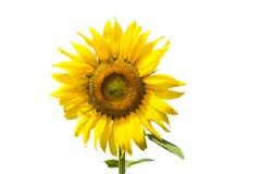 Floración del girasol Fotos de archivo libres de regalías