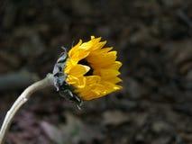 Floración del girasol imagen de archivo libre de regalías