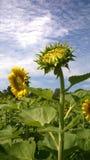 Floración del girasol Fotografía de archivo
