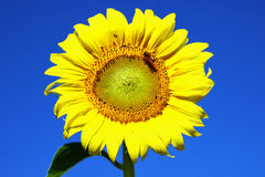 Floración del girasol Imagen de archivo