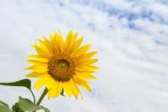 Floración del girasol Imágenes de archivo libres de regalías