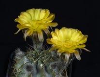 Floración del glacum de Acanthocalycium del cactus, aislada en la parte posterior del negro foto de archivo libre de regalías