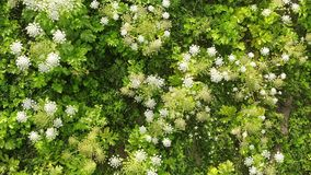 Floración del Heracleum tóxico peligroso de la planta, visión aérea También conocido como el gigante Hogweed o pastinaca de vaca, almacen de metraje de vídeo