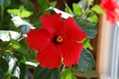 Floración del hibisco Fotografía de archivo