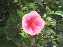 Floración del hibisco Imágenes de archivo libres de regalías