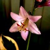 Floración del Hosta Imagenes de archivo