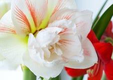 Floración del invierno de la ninfa del hippeastrum Foto de archivo