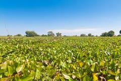 Floración del jacinto de agua Fotografía de archivo libre de regalías