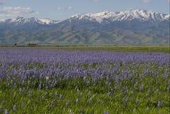 Floración del lirio de Camas en pantano centenario Imagen de archivo libre de regalías
