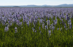 Floración del lirio de Camas en pantano centenario Fotografía de archivo libre de regalías
