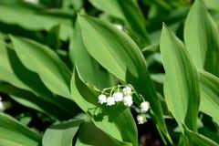 Floración del lirio de los valles Imagenes de archivo
