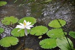 Floración del loto blanco Fotografía de archivo