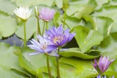 Floración del loto con la abeja Foto de archivo libre de regalías