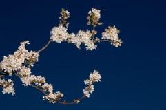 Floración del manzano Fotos de archivo libres de regalías