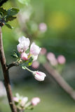 Floración del manzano fotografía de archivo
