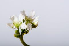 Floración del muscipula del Dionaea en cierre del blanco Imágenes de archivo libres de regalías