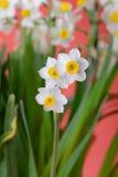 Floración del narciso Imágenes de archivo libres de regalías