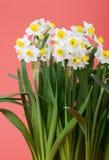 Floración del narciso Fotografía de archivo