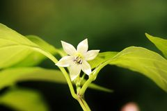 Floración del paprika Imagen de archivo