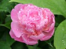 Floración del Peony Fotografía de archivo