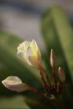 Floración del Plumeria Foto de archivo libre de regalías