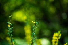 Floración del pycnantha del acacia del árbol de la mimosa, cierre del zarzo de oro para arriba en la primavera, flores amarillas  foto de archivo libre de regalías