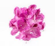 Floración del rododendro Imagen de archivo libre de regalías