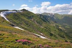 Floración del rododendro de la montaña Foto de archivo libre de regalías