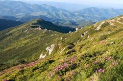 Floración del rododendro de la montaña Fotografía de archivo
