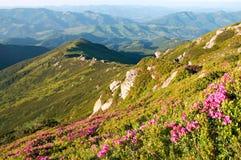 Floración del rododendro de la montaña Fotografía de archivo libre de regalías