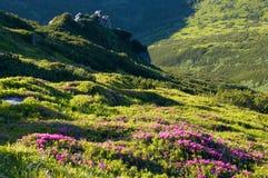 Floración del rododendro de la montaña Foto de archivo