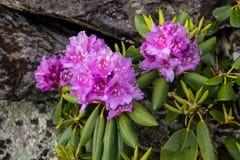 Floración del rododendro delante de la roca Imagen de archivo libre de regalías