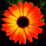 Floración del Rudbeckia Imagen de archivo libre de regalías