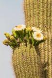 Floración del Saguaro Foto de archivo libre de regalías