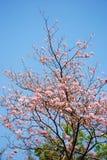 Floración del tabebuia Fotos de archivo