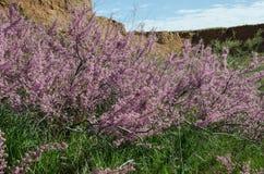 Floración del Tamarix en primavera foto de archivo libre de regalías