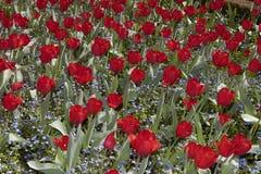 Floración del tulipán Imagen de archivo libre de regalías