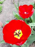 Floración del tulipán imagenes de archivo