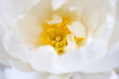 Floración delicada de la flor blanca foto de archivo