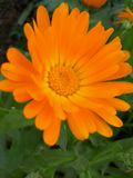 Floración diaria foto de archivo libre de regalías