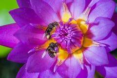 Floración e insecto del lirio de agua Imagen de archivo