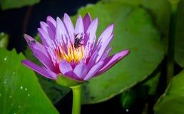 Floración e insecto del lirio de agua Fotografía de archivo
