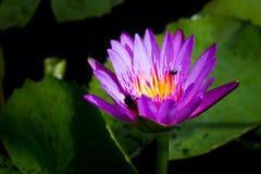 Floración e insecto del lirio de agua Foto de archivo