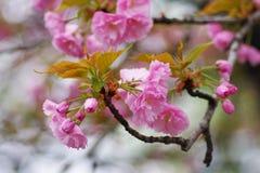 Floración en el flor del melocotón Imagenes de archivo