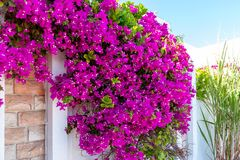 Floración enorme de la planta que sube de Bougenvillea en la pared de una casa en un país meridional foto de archivo